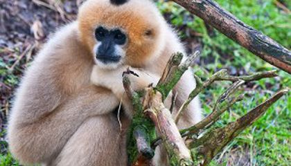 Crested Gibbons Sing in Different Dialects