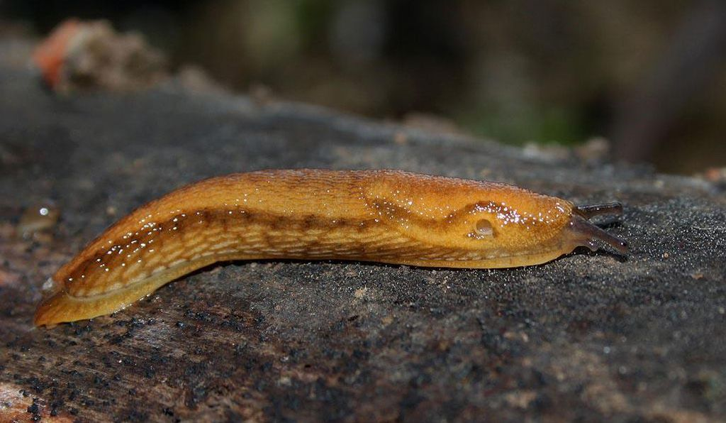 <i>Arion subfuscus</i> is a common orange slug that lives in northern temperate regions around the world. Its protective mucus has inspired a new medical glue.