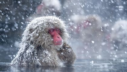 Chilling Out in Hot Springs May Help Japan's Snow Monkeys Reduce Stress