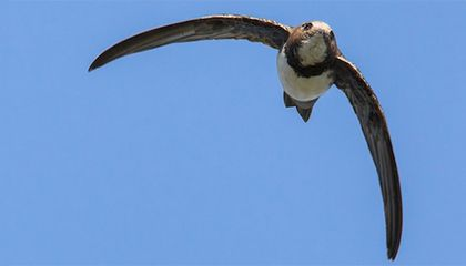 This Bird Can Stay in Flight for Six Months Straight