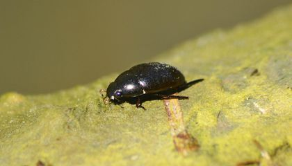 Some Bugs Walk on Water, but This Talented Beetle Scurries Underneath Its Surface