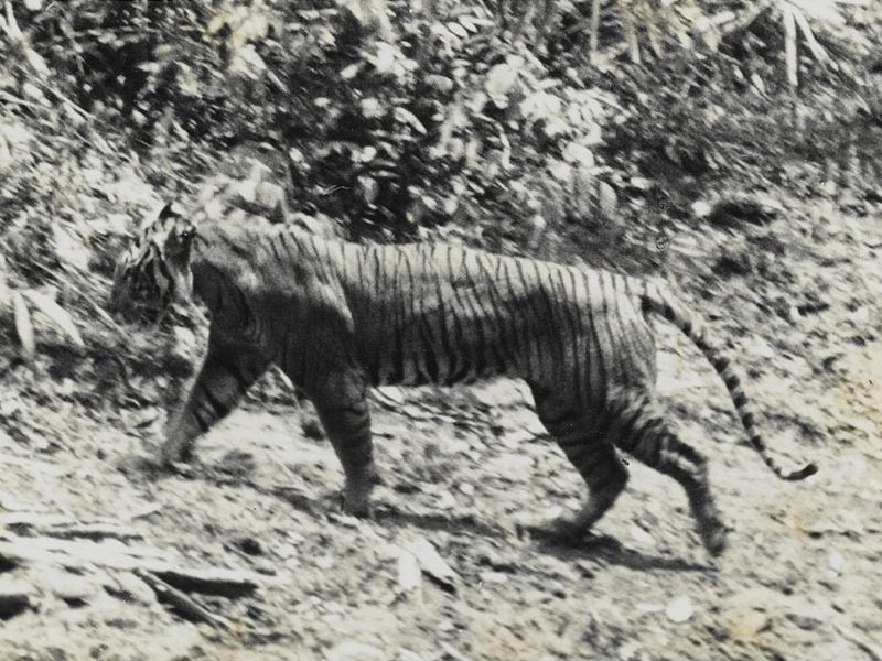 Taken in 1938, this image captures one of the once abundant Javan tigers. Hunting drove the big cats to extinction. (A. Hoogerwerf via Wikimedia CC)