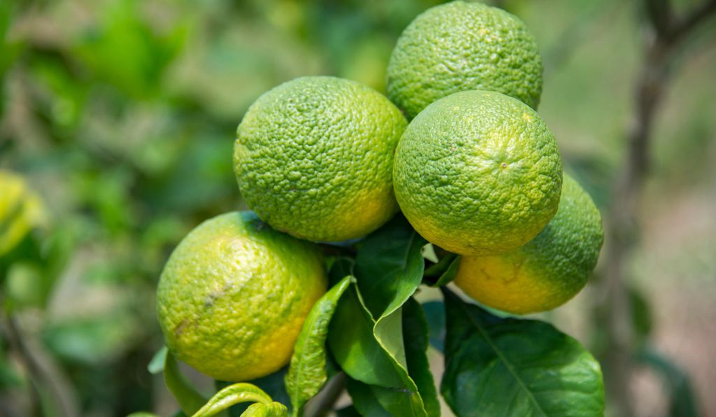 Citrus greening has devastated the American citrus industry for 15 years.