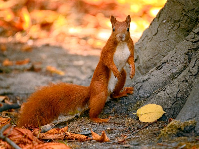 fear not though it was recently found that red squirrels can harbor the leprosy bacteria there hasnt been a single confirmed case of the disease in the - Pictures Of Squirrels