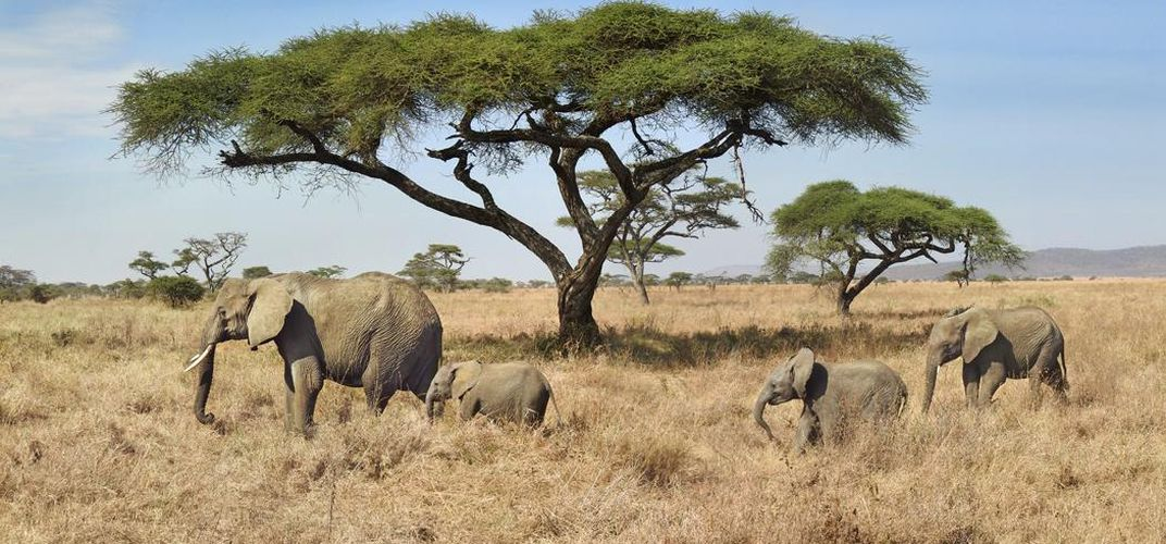 Elephant and calves amid acacia trees. Credit: Kirt Kempter