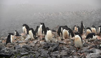 Climate Change Means More Adélie Penguins