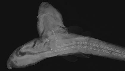 A Two-Headed Shark and Other X-Rayed Beauties at the Smithsonian