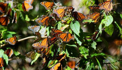 Hand-Reared Monarch Butterflies Are Weaker Than Their Wild Cousins