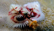 The Christmas Tree Worm, Decorating Coral Reefs Year-Round