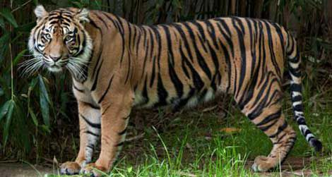 Damai, the Zoo's newest tiger
