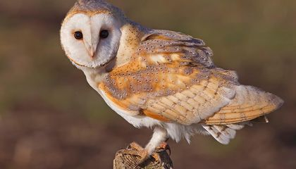 Barn Owls Do Not Suffer From Age-Related Hearing Loss, Study Shows