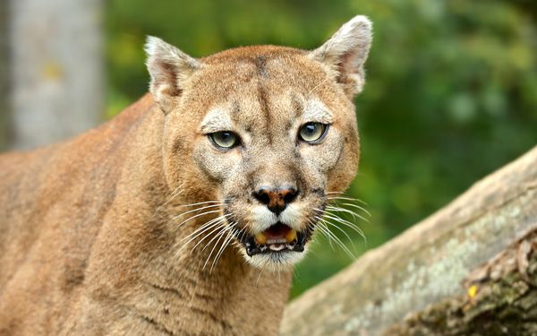 Officials catch cougar roaming Utah neighborhoods