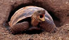 A desert tortoise (emerging from its den) may use the same burrow for many years