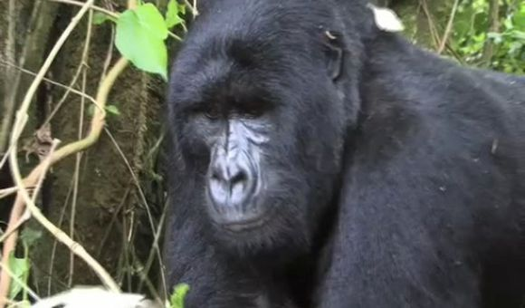 Preview thumbnail for video'The Endangered Gorillas of the Congo
