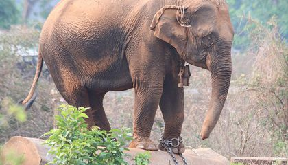 Captured Elephants Die Up to Seven Years Sooner Than Those Bred in Captivity