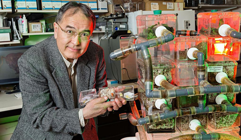 Ted Schultz, curator of ants with the Smithsonian's National Museum of Natural History, holds a lab nest of a lower fungus-growing ant while standing next to a lab nest of higher fungus-growing leaf-cutting ant.