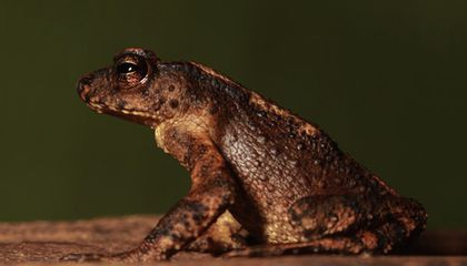 'World's Rarest Toad' Not Extinct After All