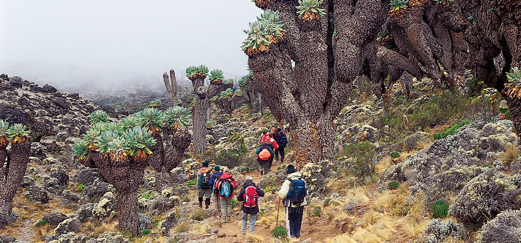 Hiking through a forest of giant groundsel on the Mt. Kilimanjaro trek