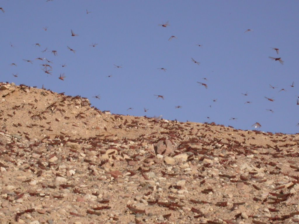 A Plague of Locusts Descends Upon the Holy Land, Just in