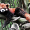 A red panda relaxing on a branch