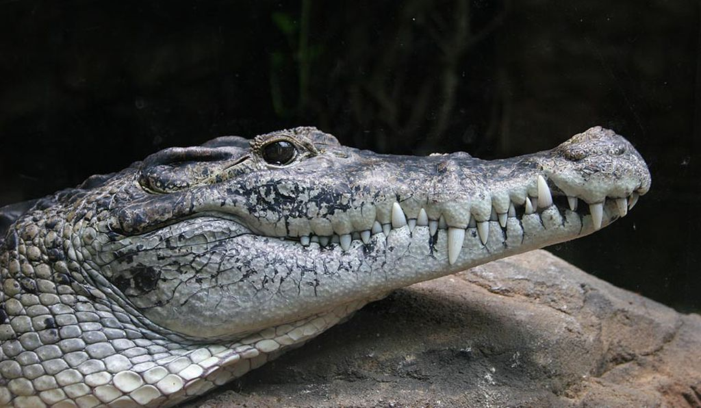 In 2012, Hoser dubbed this species Oopholis adelynhoserae. According to other taxonomists, it is actually the New Guinea crocodile, Crocodylus novaeguineae.