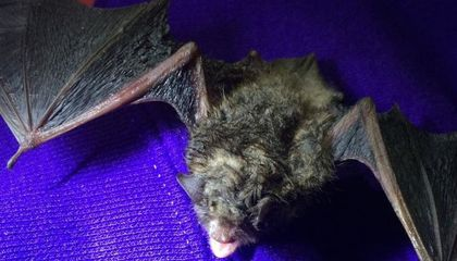 UV Light Could Help Stop the Bat-Killing White Nose Syndrome