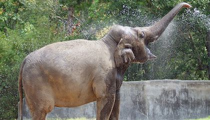 Breaking News: Bozie the Elephant to Join National Zoo