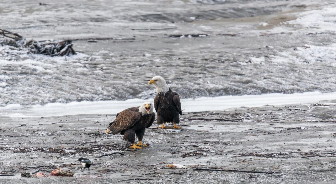 eagles hunting salmon
