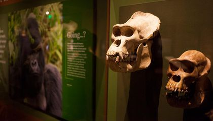 Dian Fossey's Gorilla Skulls Are Scientific Treasures and a Symbol of Her Fight