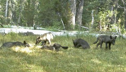 Biologists Have Spotted the First Wolf Pack in California in 100 Years