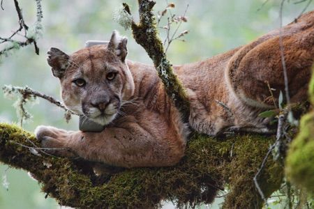 Mercury-Laden Fog May Be Poisoning California's Mountain Lions