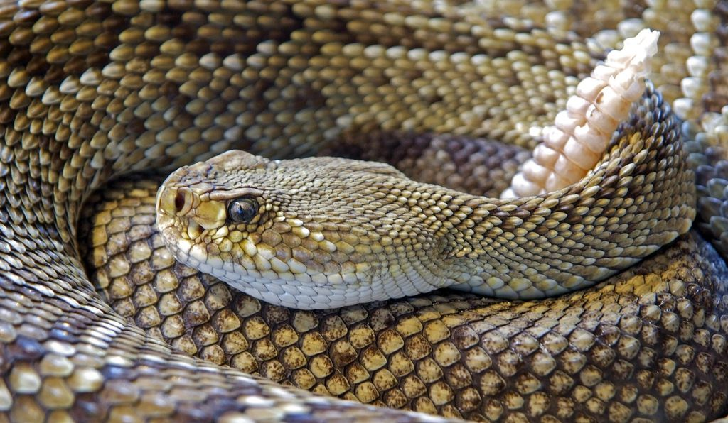 A rattlesnake can slither, rattle and strike even after being dismembered.