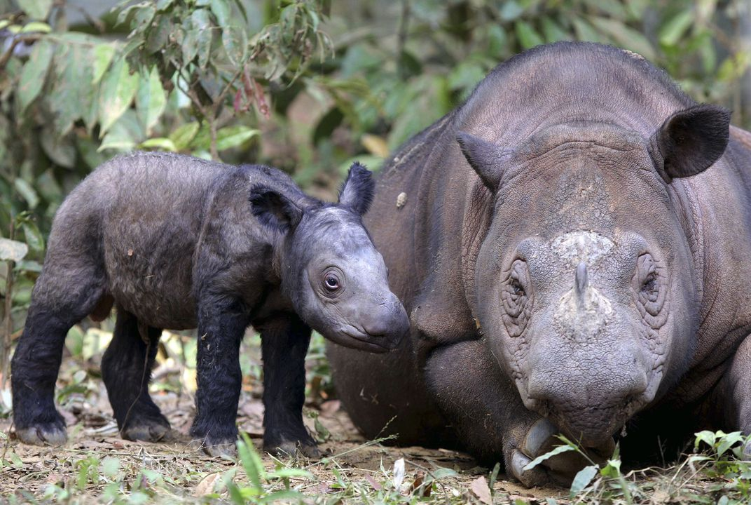 Another baby on the way for endangered rhino