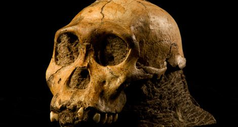 The skull of Australopithecus sediba