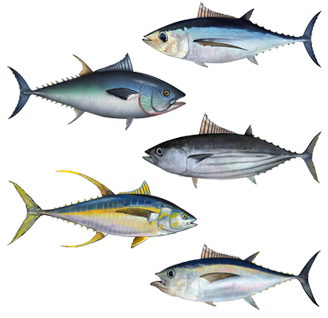 Assorted tuna species