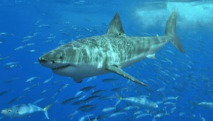 Prehistoric Great White Shark Nursery Discovered in Chile