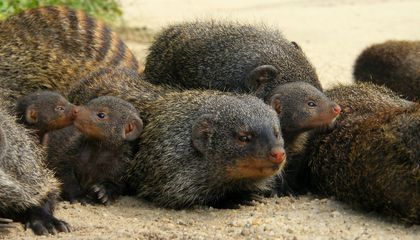 Papa Mongooses Learn Not to Try So Hard When Raising Babies
