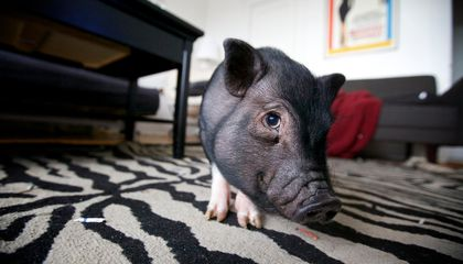 For $1,600 You Can Own a Genetically Altered Micropig