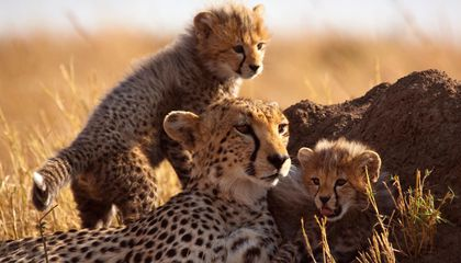 Scientists Know They Should Really Study Important Bugs but OMG a Baby Cheetah