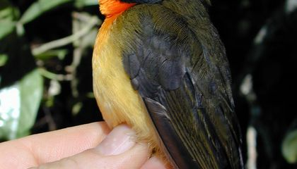 Scientists Find Another Species of Forest Robin