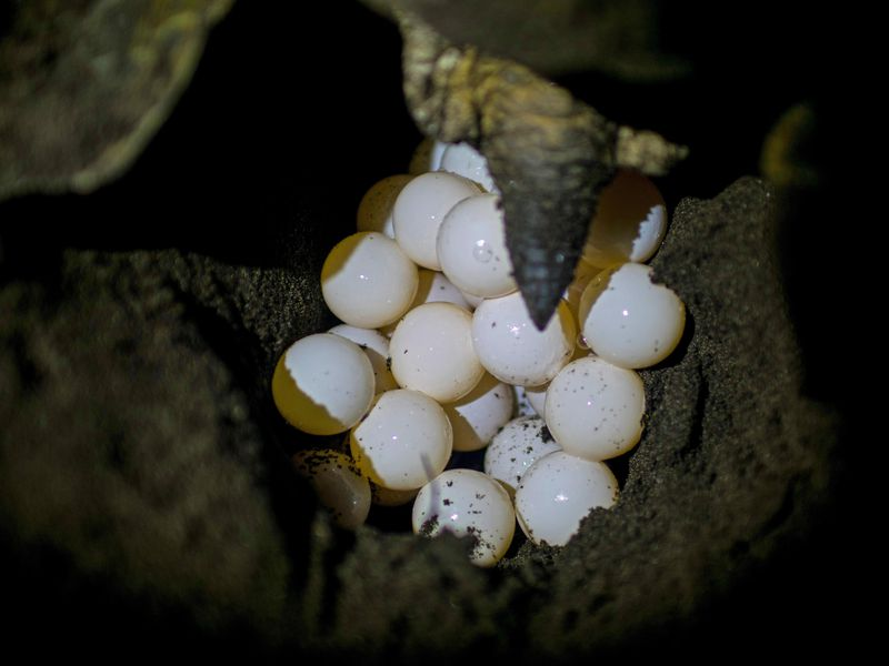 Clutch of sea turtles eggs being laid in a nest