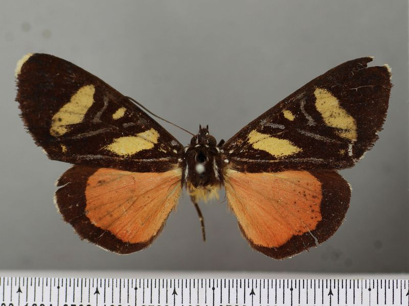 One of the 'Rarest Butterflies Ever' May Have Been a Moth All Along