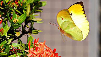 Image: Butterfly adaptations to blend in, show off and shimmer