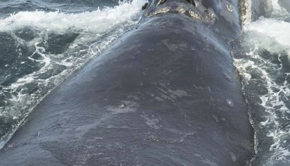 Image: Scientists spot rare whale in Bering Sea