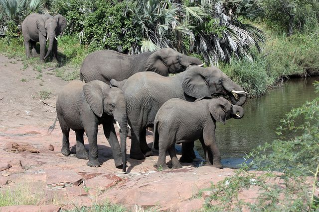 African elephants in Kruger National Park