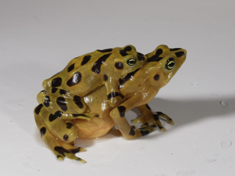 golden-frogs.jpg