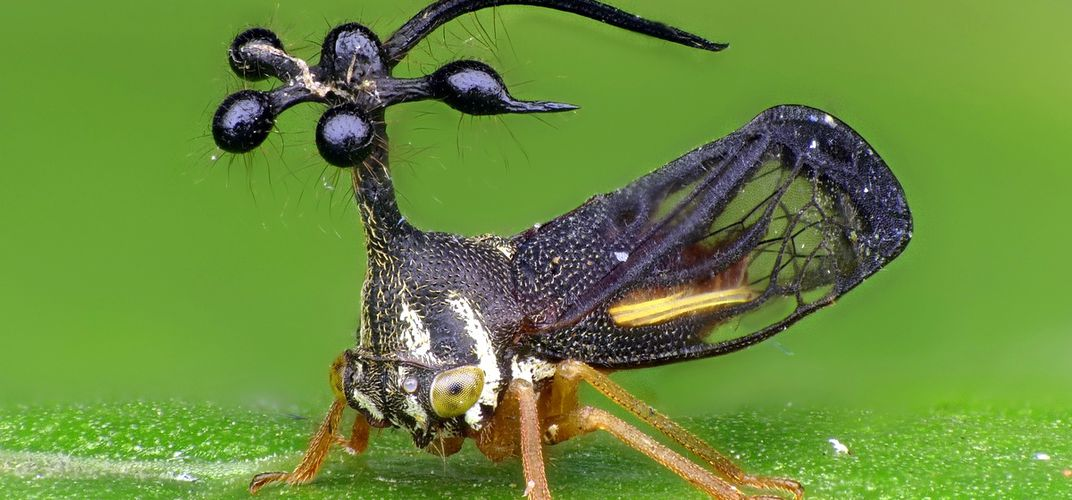 Caption: Treehoppers' Weird Helmets Use Wing Genes to Grow