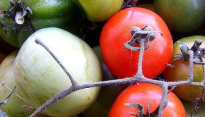 Learning About Heirloom Tomatoes
