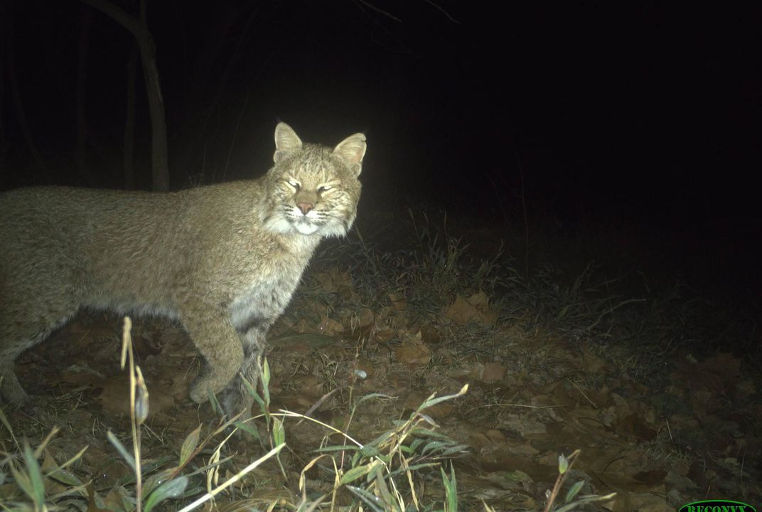 Unusual Urban Bobcat Spotted in Washington, D.C.