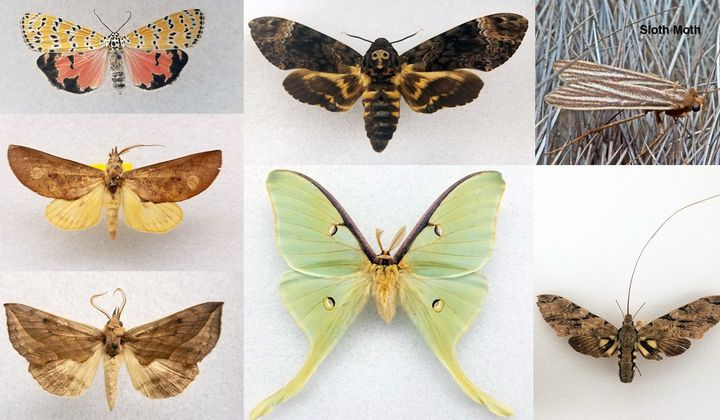 Marvel at the World's Most Magnificent Moths